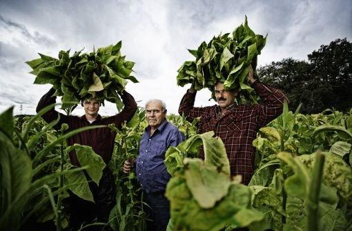 Der Tabakanbau liegt in den letzten Zügen