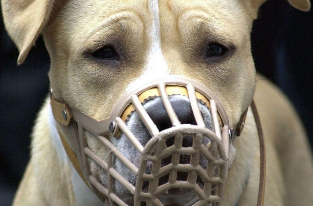 """Der American Staffordshire Terrier zählt zu den Rassen, die als so genannte """"Kampfhunde"""" eingeschätzt werden. Foto: dpa"""