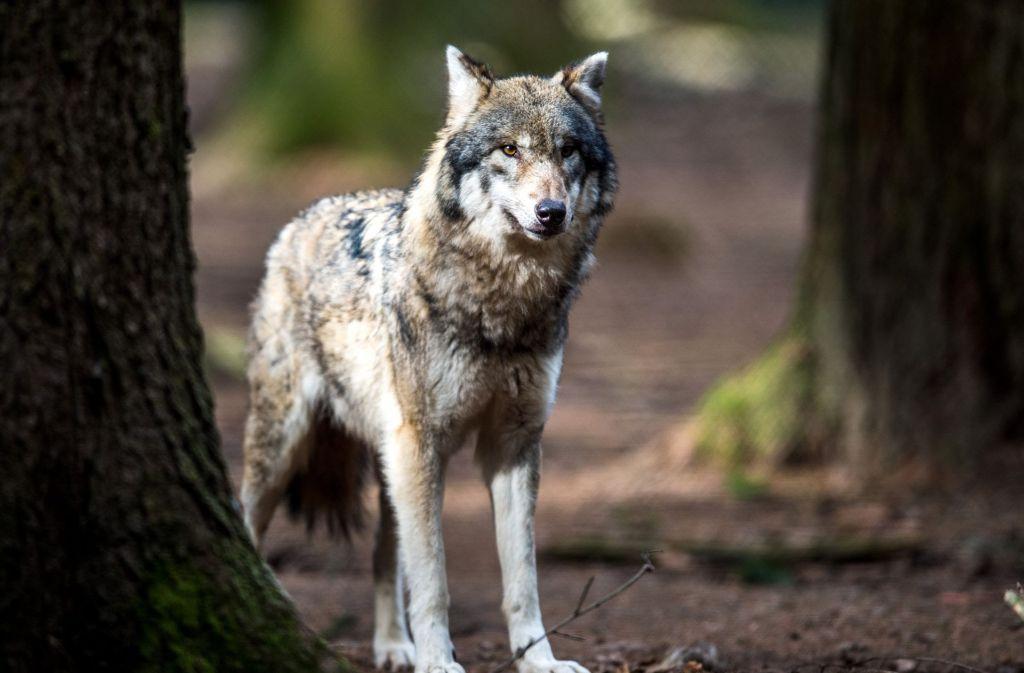 Ein Wolf hat im Kreis Heilbronn drei Schafe gerissen. (Symbolbild) Foto: dpa