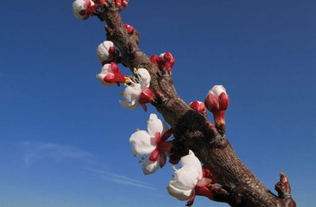 Es blüht wieder: Am Sonntag ist der Frühlingsbeginn. Foto: bdslucky48
