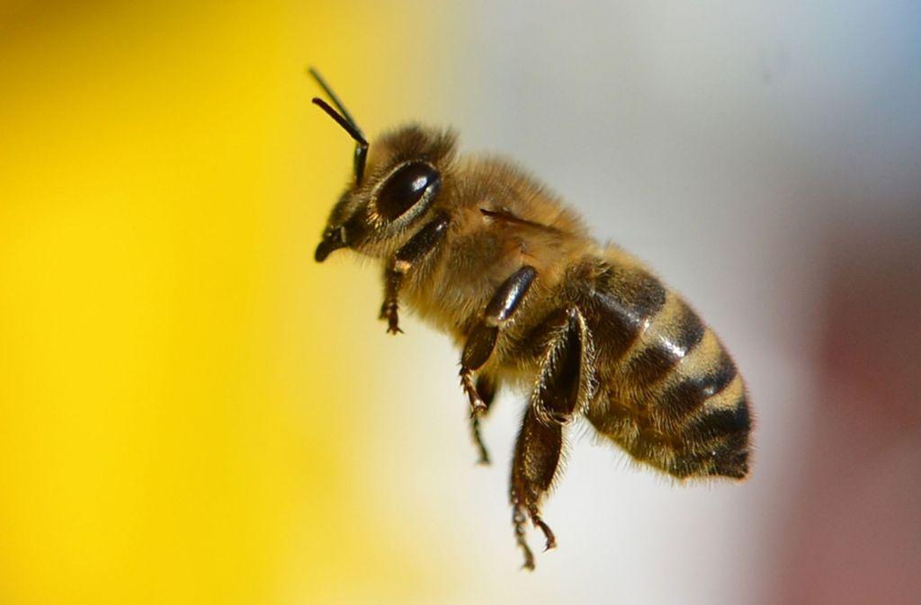 Wild- und Honigbienen sind rein äußerlich schwer zu unterscheiden. Auf diesem Foto sieht man eine Wildbiene. Foto: dpa