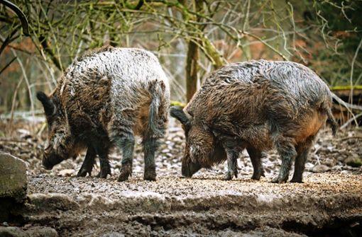 Intensive Jagd auf Wildschweine