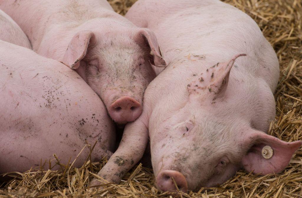 Bis zu 200 Bio-Schweine wollen die Riehles am Spätengrund halten. Foto: dpa