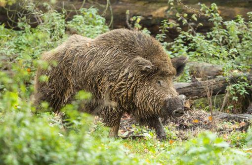 Wildschwein rammt Streifenwagen und 93-Jährige