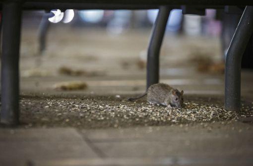 Übernehmen die Ratten das Kommando?