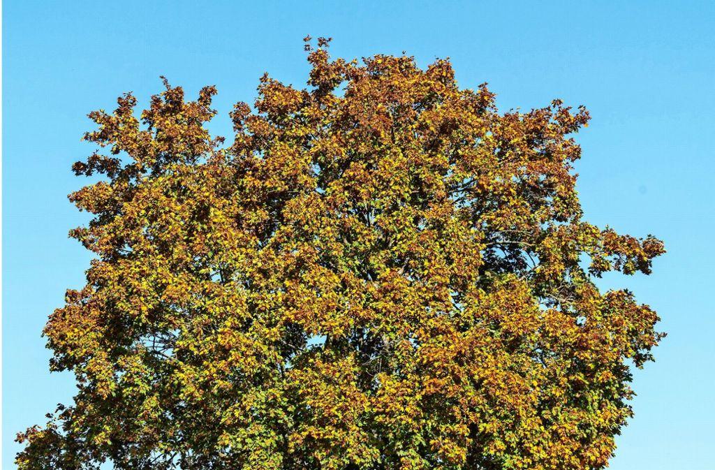 Bäume sind gut fürs Klima. Wer sie absägt, dem rückt der kommunaler Kontrolldienst auf die Pelle Foto: factum/Weise