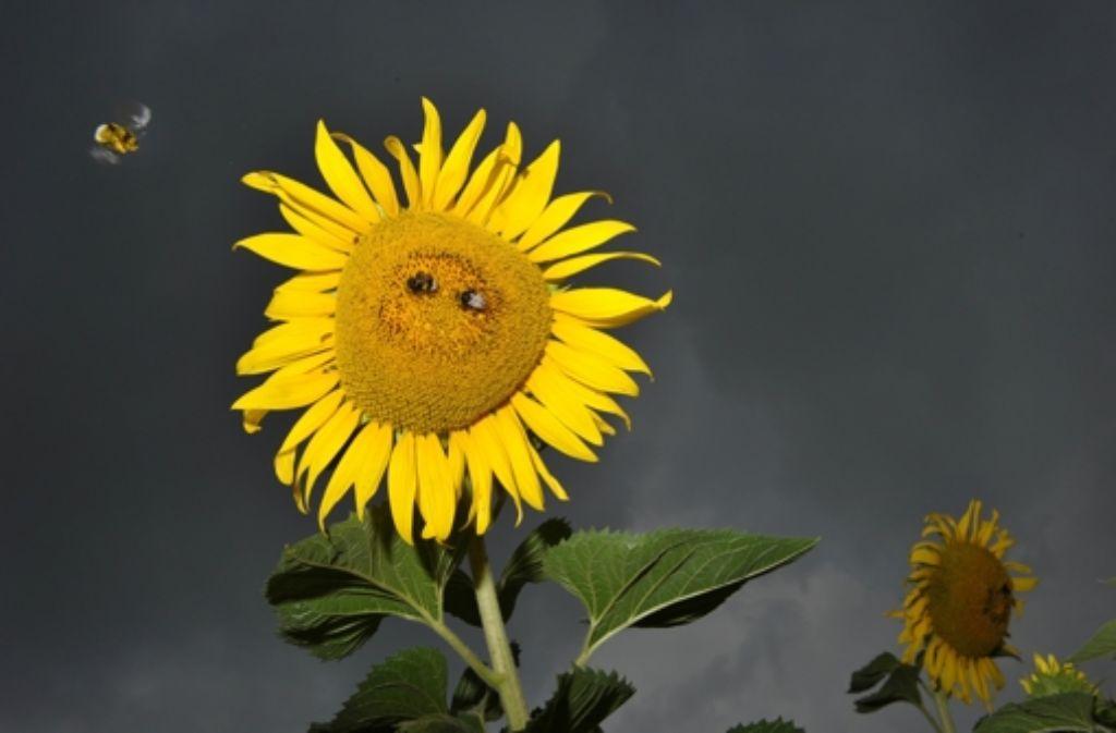 Der Blütenstand von Sonnenblumen ist nach den Regeln der Mathematik aufgebaut. Die Samen stehen so, dass sich Spiralen ergeben – im Uhrzeigersinn und in die andere Richtung. Die Zahl der Spiralen sind benachbarte Fibonacci-Zahlen, beispielsweise 34 und 55. Foto: dpa