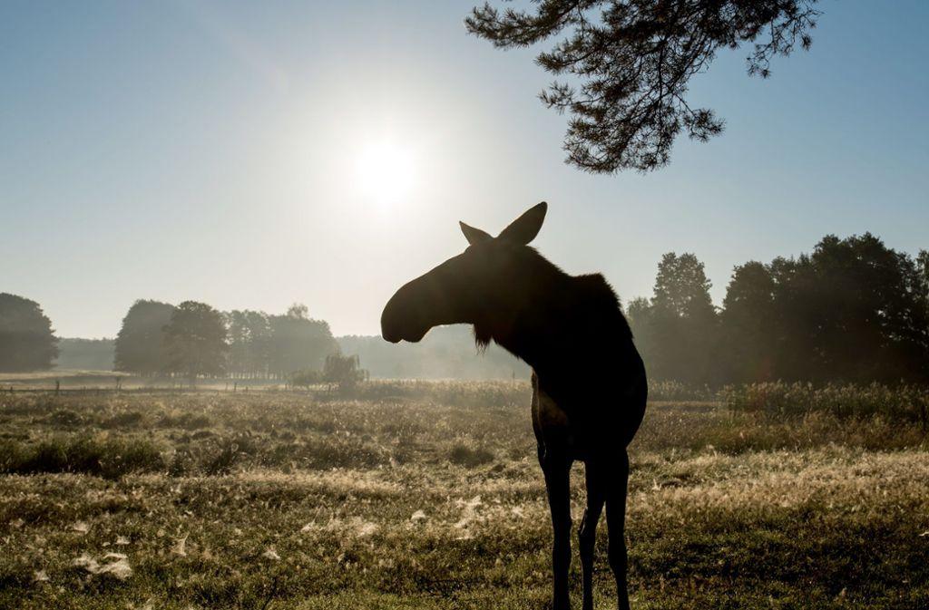 Im Nationalpark Unteres Odertal wurde ein Elch gesichtet (Symbolbild). Foto: Patrick Pleul/dpa-Zentralbild