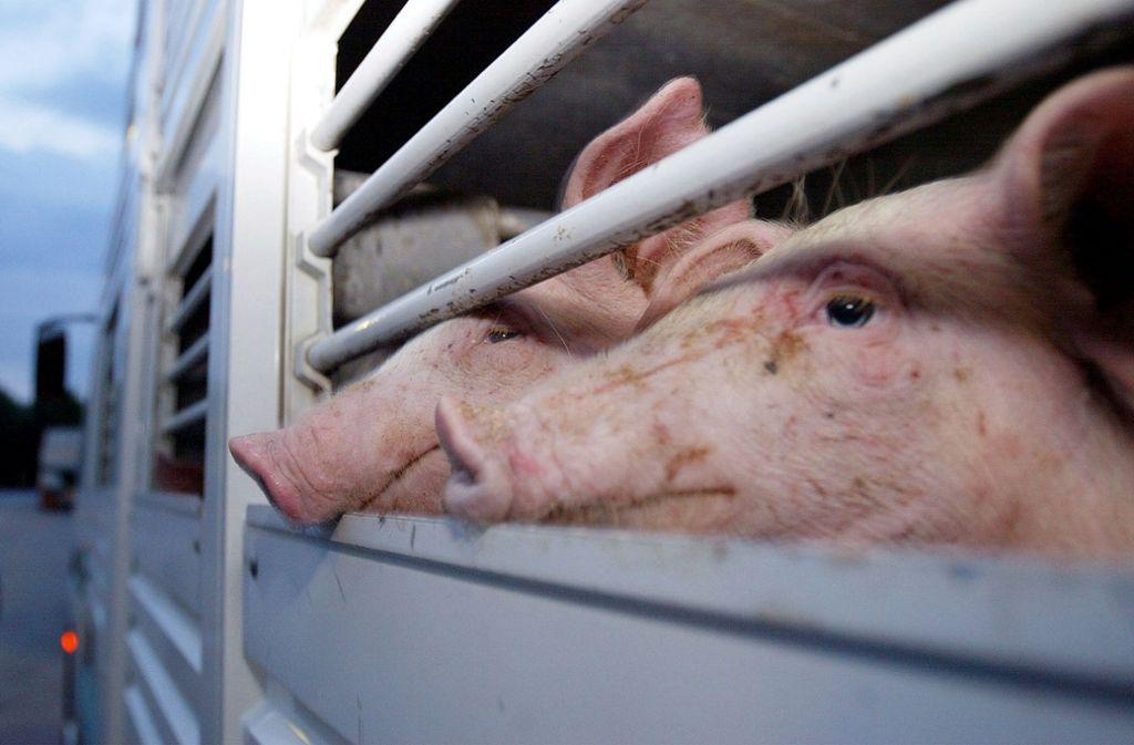 Bislang sind nur Tiertransporte innerhalb der Europäischen Union geregelt, Baden-Württembergs Agrarminister Peter Hauk will den Weg in Drittländer regeln. Foto: AP