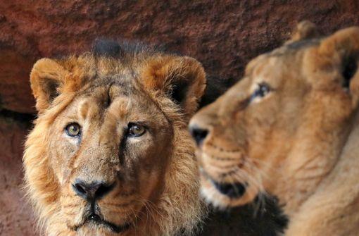 Löwe tötet 22-jährige Praktikantin in Tierpark