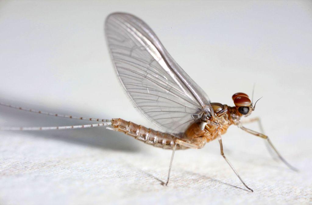 Dem Fliegenhaft ist von der Natur nur ein kurzes Leben vergönnt. Foto: Michael Eick