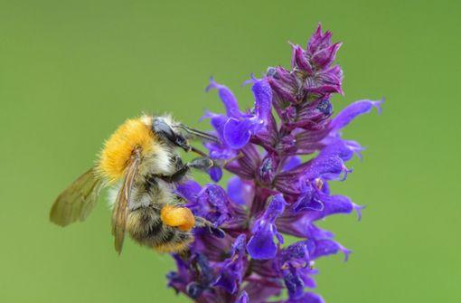 Naturfreunde zählen Insekten –  Ackerhummel auf Platz eins