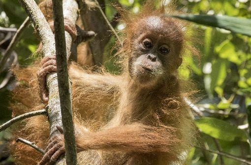 """""""Der Schutz dieses Orang-Utans ist das Wichtigste"""""""