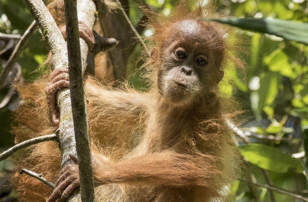 Die neue Spezies, die nach ihrer Heimatregion auf den Namen Tapanuli Orang-Utan (Pongo tapanuliensis) getauft wurde, gilt mit nur 800 Individuen nun als die seltenste Menschenaffen-Art der Welt. Foto: WWF/Maxime Aliaga
