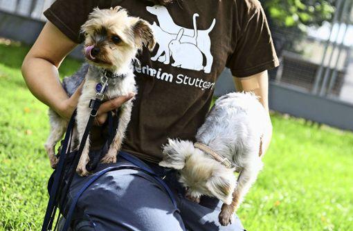 Zwei Yorkshire-Terrier ausgesetzt