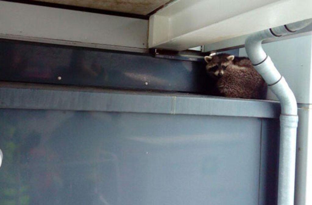 Ein Waschbär hatte es sich am vergangenen Donnerstag an einer Halle der Messe Stuttgart in zirka fünf Metern Höhe bequem gemacht. Foto: Werkfeuerwehr Messe Stuttgart