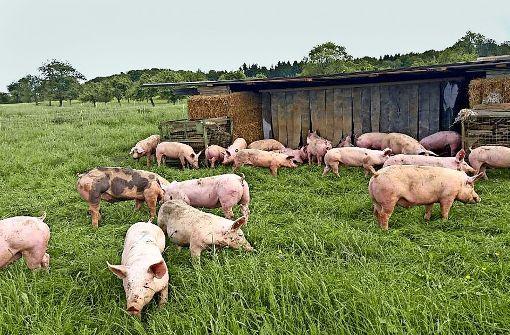 Weide-Schweine und Dosenwurst