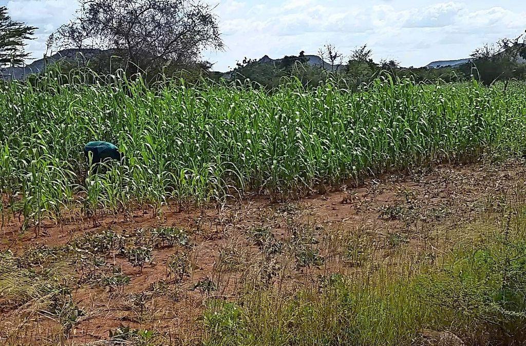 Der Gemüseanbau in Kongoussi  wird forciert und ein für die Region  lebenswichtiger See  stabilisiert. Foto: privat