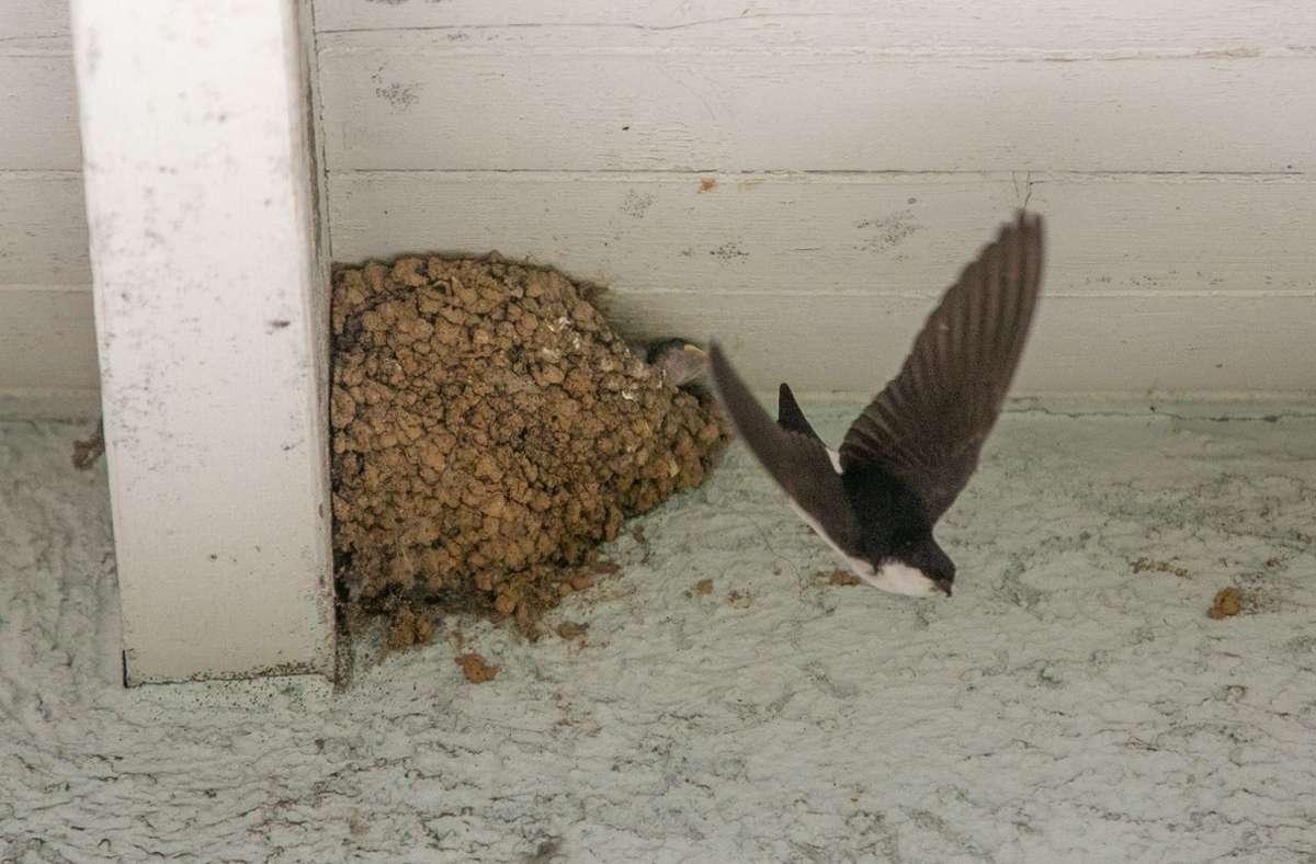 Die Alttiere besuchen das Nest nur zum Füttern, sobald die Küken geschlüpft sind Foto: Roberto Bulgrin