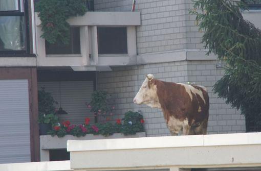 Großeinsatz wegen einer Kuh auf dem Garagendach