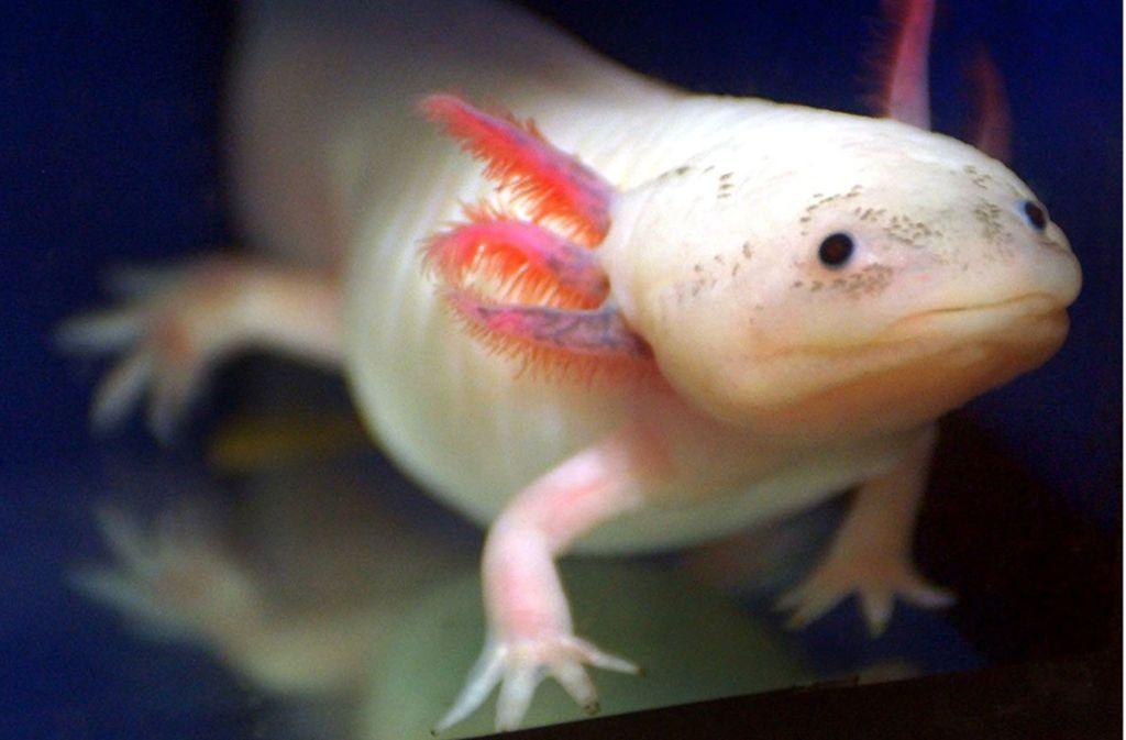 Der Axolotl hat zehnmal so viel DNA wie der Mensch – warum eigentlich? Foto: dpa