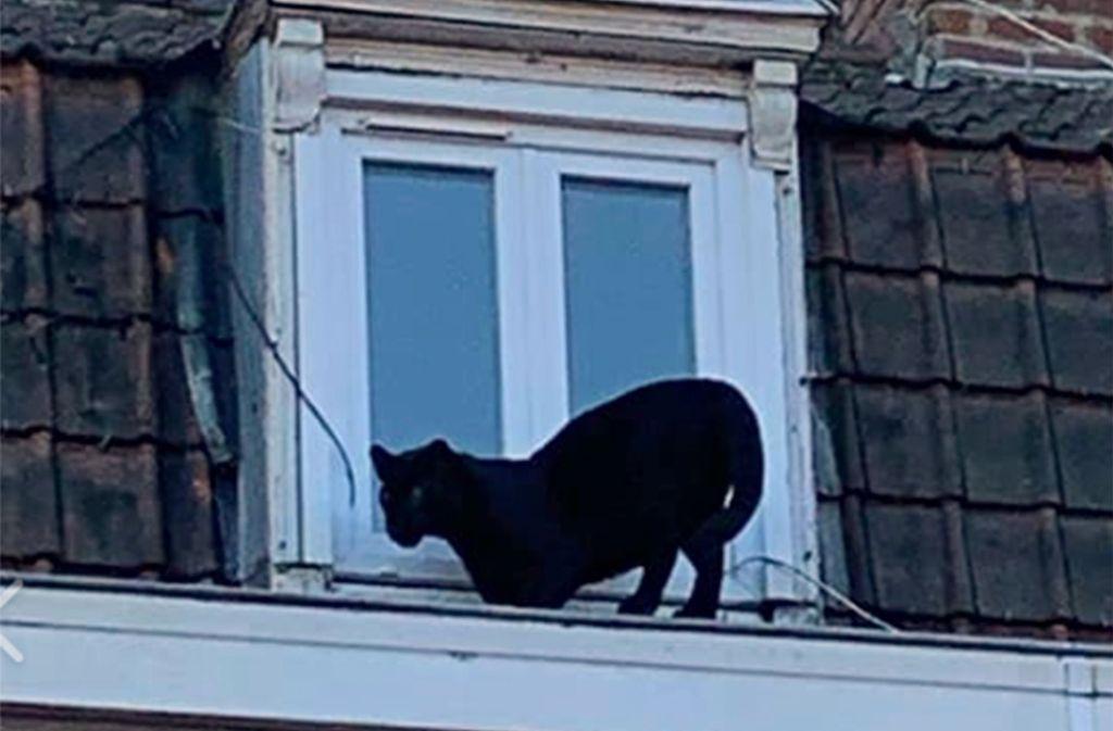 Das von der Feuerwehr in Nordfrankreich zur Verfügung gestellte Foto zeigt einen Panther auf der Dachrinne eines Gebäudes. Die Feuerwehr teilte mit, dass der Panther in eines der Häuser ging, und eingefangen werden konnte. Foto: Uncredited/AP/dpa