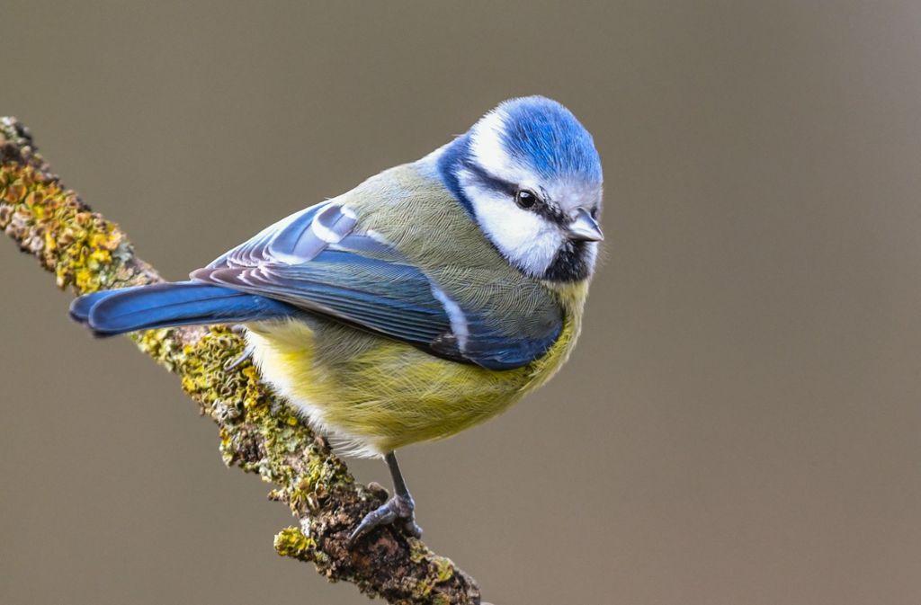 Die Blaumeise ist ein häufiger Gast an den Futterstellen im Winter. Foto: dpa/picture alliance /Patrick Pleul
