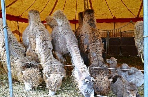 Ausgebüchste Kamele halten  Polizei auf Trab