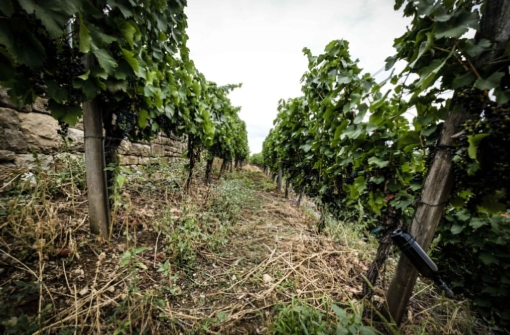 Weinreben - ökologisch oder konventionell - in der Bewirtschaftung hat beides seine Vor- und Nachteile. Foto: Lichtgut/Leif Piechowski