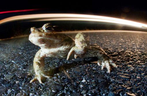Naturschützer erwarten erste Krötenwanderung am Wochenende