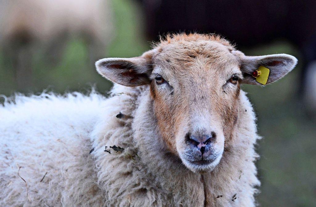 Die Schafe im Naturschutzgebiet dienen  als natürliche  Rasenmäher. Foto: dpa