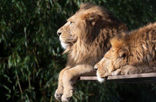 Mann setzt sich in Gehege neben Löwen