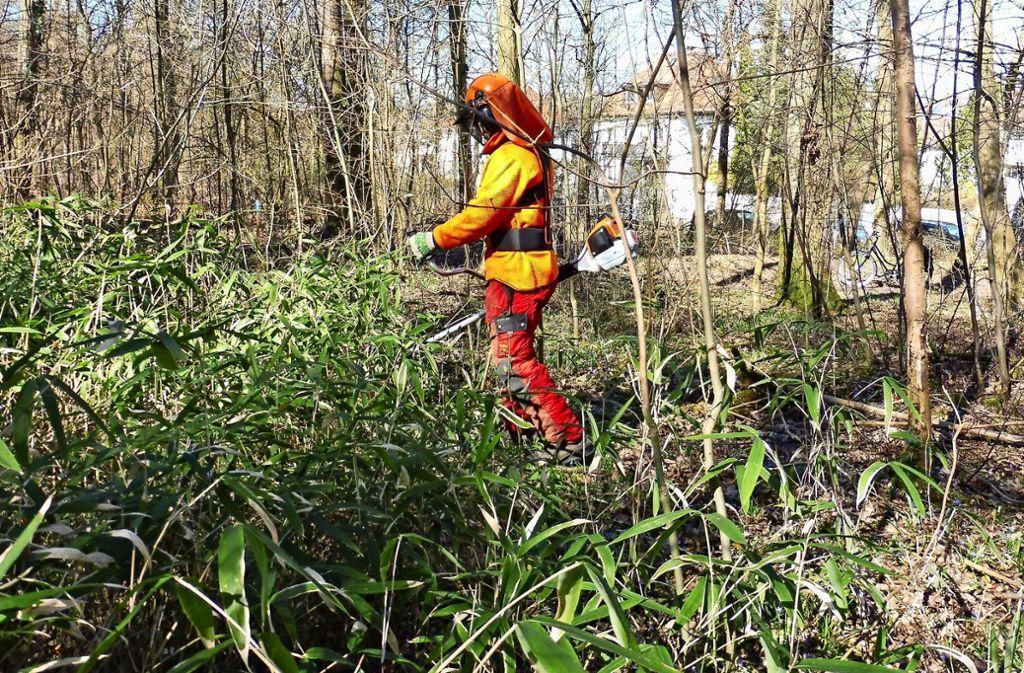 Mitarbeiter des Gartenbauamtes rücken dem Bambus zu Leibe. Foto: Stadt Stuttgart (z)
