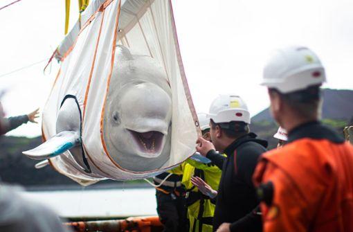 Belugawale ziehen mit Schwertransport um