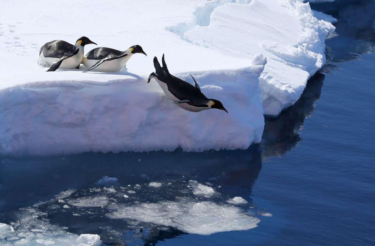 Es gibt in der Antarktis mehr Kaiserpinguine als angenommen. Foto: dpa/Liu Shiping