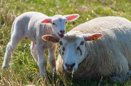 Mutterschaf und Lamm getötet – Polizei sucht Zeugen