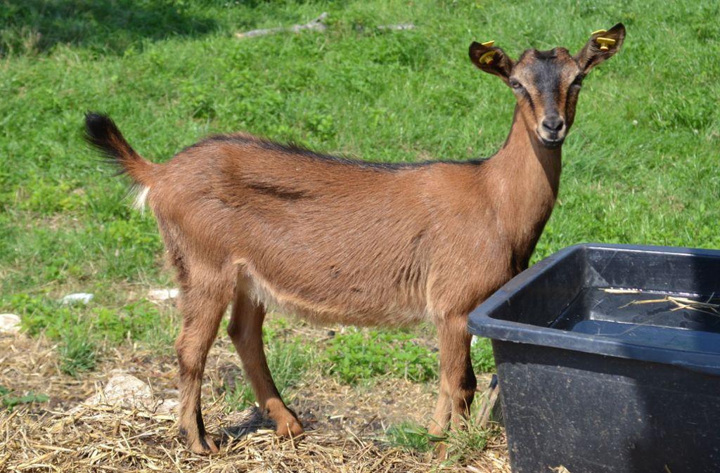Diese hübsche Ziege braucht noch einen Namen. Foto: Landratsamt Esslingen