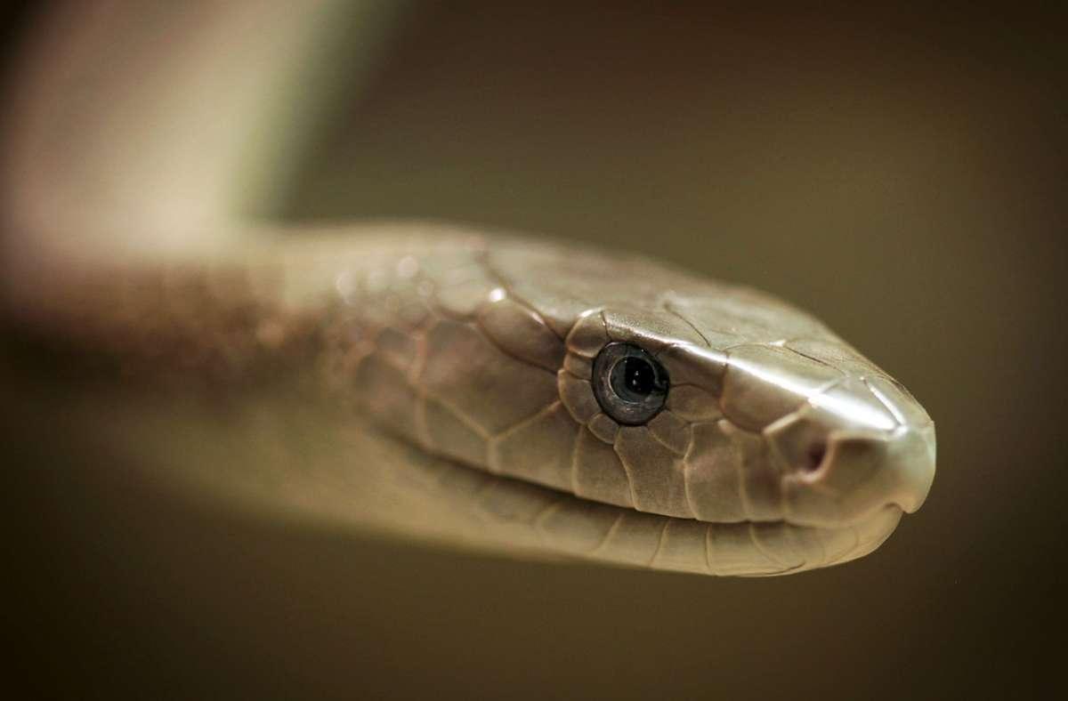 Jeden Tag werden fast 7400 Menschen von giftigen Schlangen (hier eine Mamba) gebissen, 2,7 Millionen Menschen im Jahr. (Symbolbild) Foto: dpa/Fredrik von Erichsen