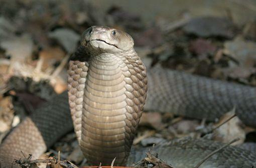Entwarnung – Vermeintliche Kobra nur eine Ringelnatter