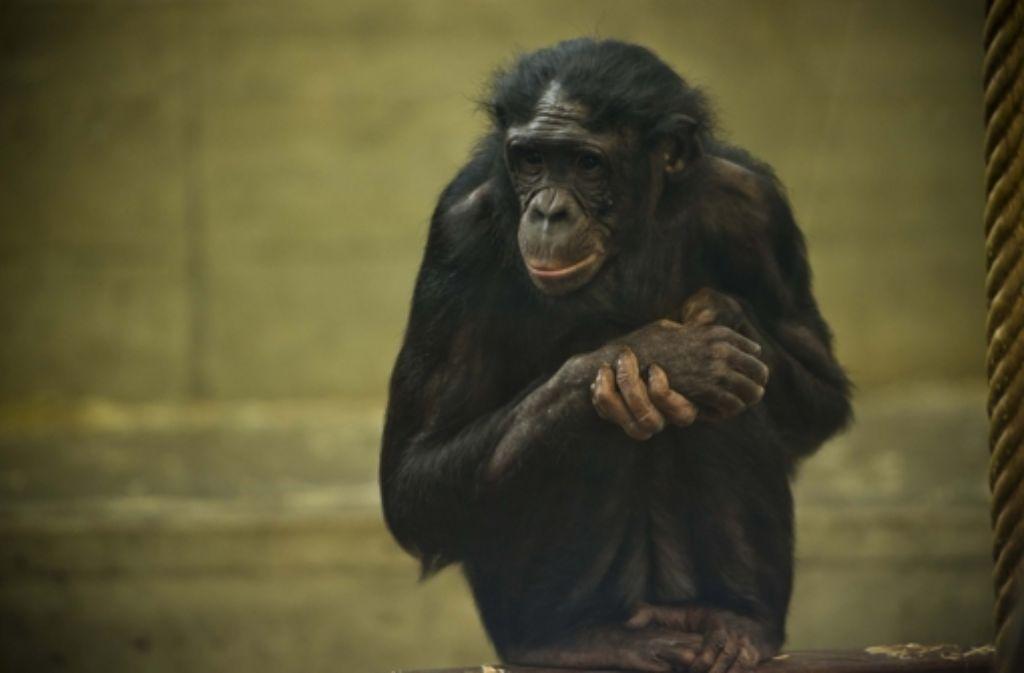 Im Affenhaus der Wilhelma wurden Baumängel festgestellt. Foto: Lichtgut/Max Kovalenko
