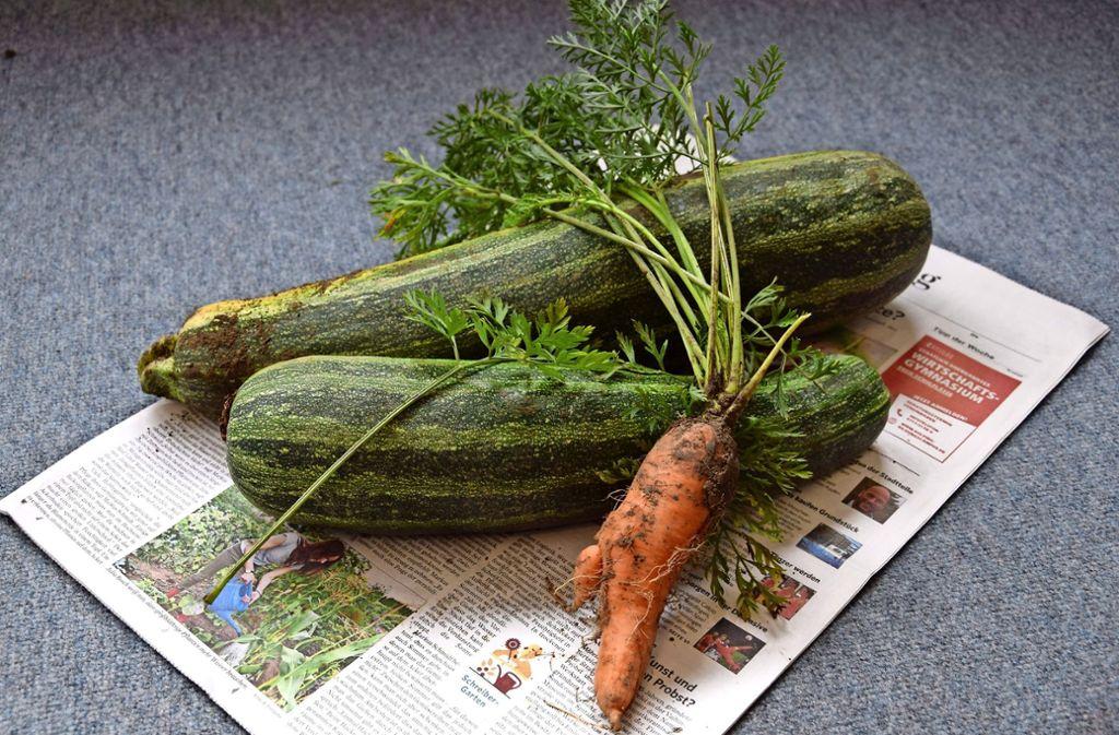 Unsere Zucchini sind fast so lang wie unsere Zeitung. Doch um Samen zu gewinnen, sind sie  bestens geeignet. Auch aus Möhrenblüten bekommt man Samen. Allerdings blühen die Pflanzen erst im zweiten Jahr. Foto: Alexandra Kratz