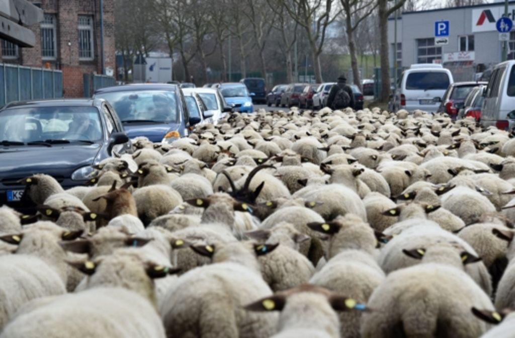 Schafe werden nicht krank, wenn sie mit dem Q-Fieber infiziert sind. Foto: dpa