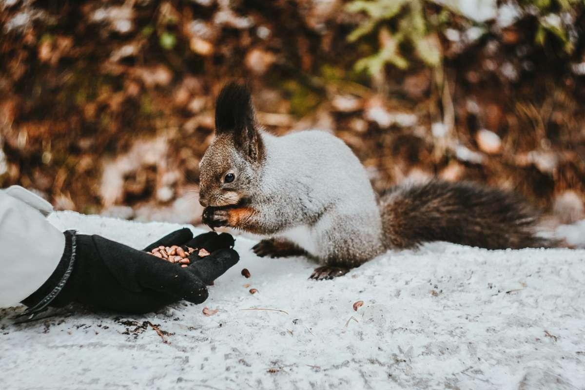 Die charmanten kleinen Nager halten keinen Winterschlaf und müssen für den Winter vorsorgen. Foto: Unsplash/Pure Julia