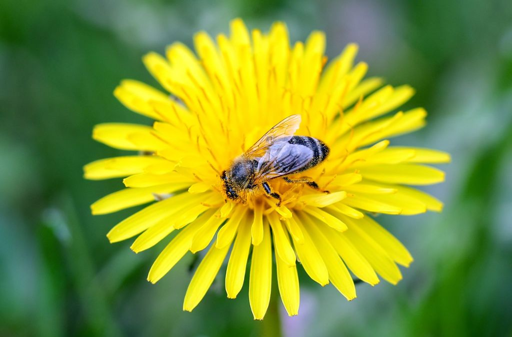 Rettet die Bienen, lautet das Motto der Artenschützer. Foto: picture alliance/dpa