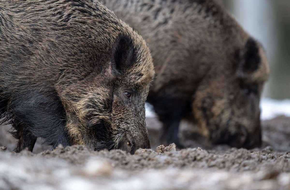Die Afrikanische Schweinepest breitet sich in Brandenburg weiter aus. Wieder ist ein infiziertes Wildschwein erlegt worden. Foto: dpa/Lino Mirgeler