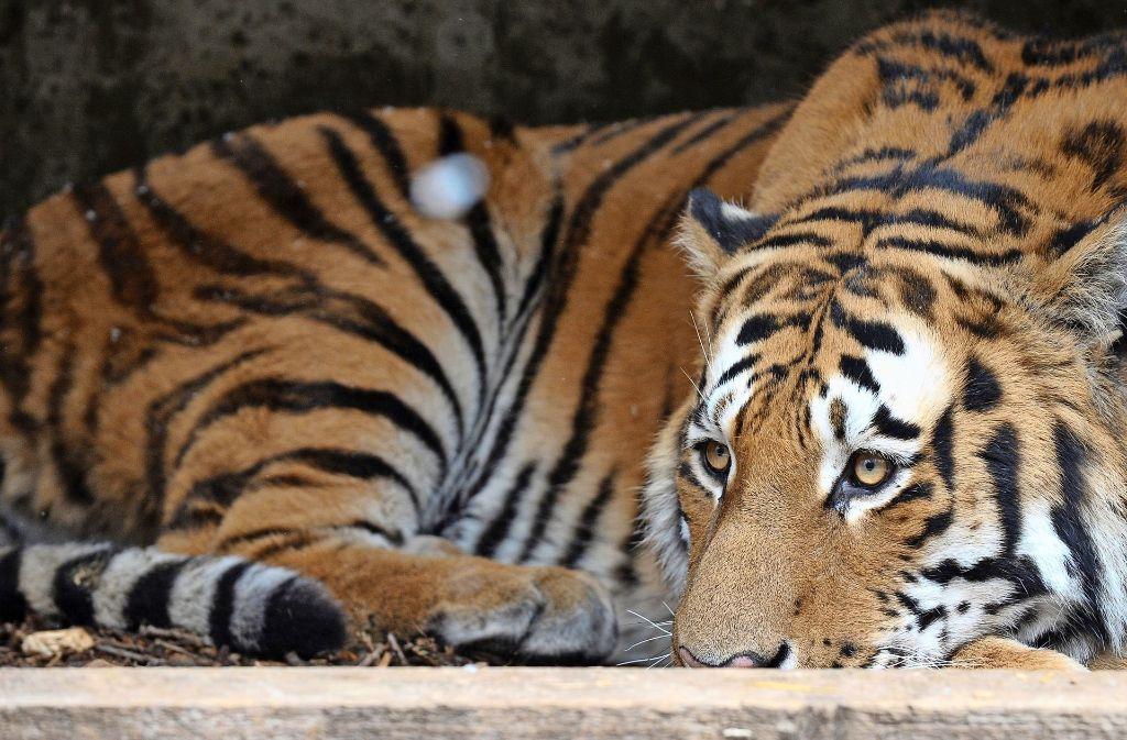 Auch Sibirische Tiger sollen künftig Besucher in die Wilhelma locken. Foto: dpa