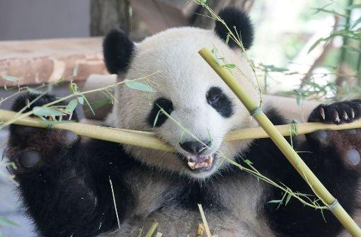 Panda-Bärin Meng Meng läuft gern rückwärts