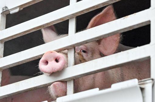 Untersuchung nach erneutem Schockvideo aus Schweinebetrieb