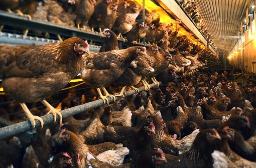 """""""Hühner legen  mehr als doppelt so viele Eier wie 1955"""""""