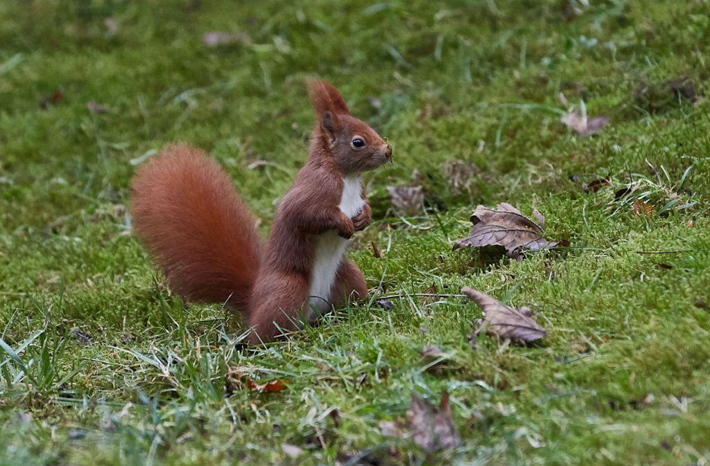 Ein Eichhörnchen hat die Polizei in Karlsruhe auf Trab gehalten (Symbolbild). Foto: dpa
